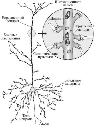 синаптические соединения.