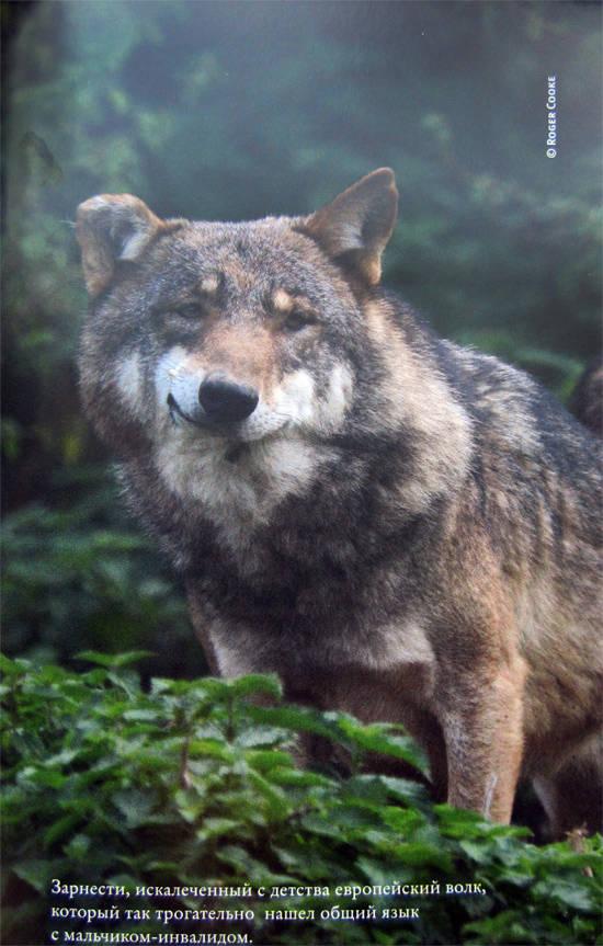 к чему снится что тебя хочет укусить волк