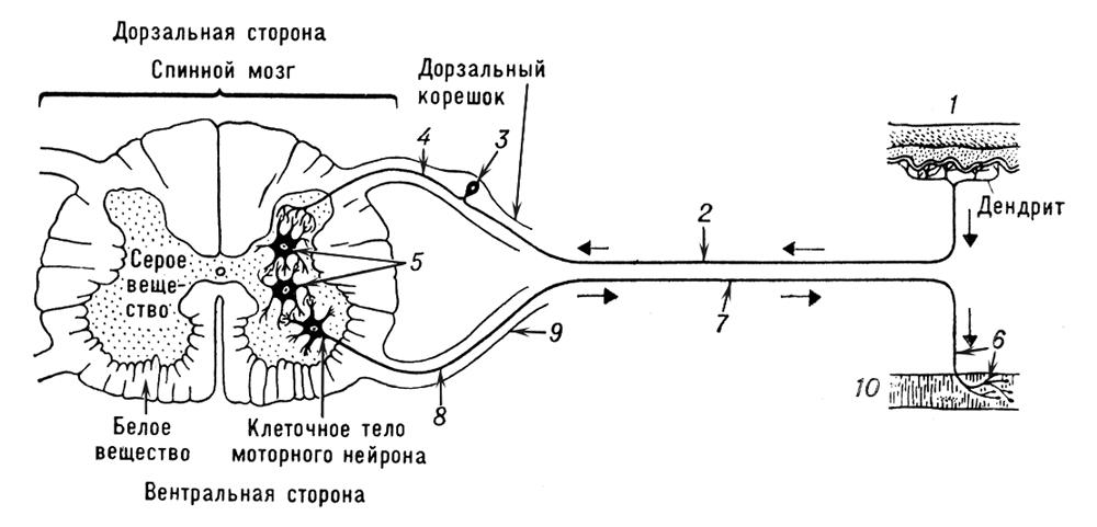 Схема рефлекторной дуги: