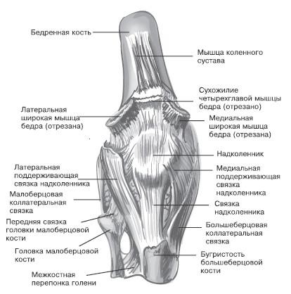Строение форма колленного сустава воспалился и болит сустав второго пальца на ноге
