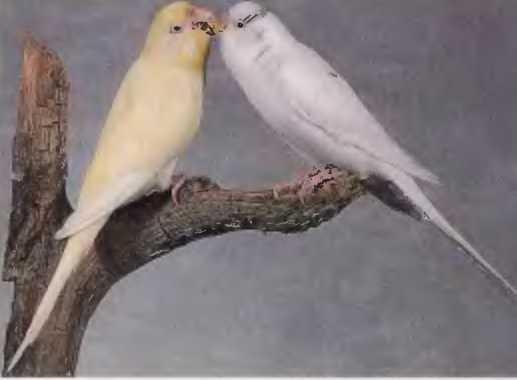 фото попугай волнистый белый