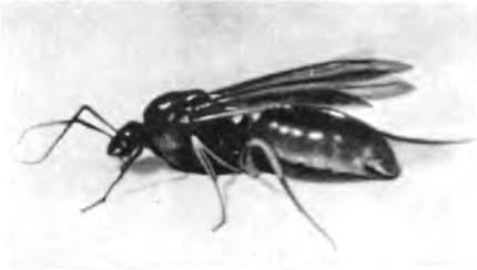 Появились дома зимой крупные тмные муравьи и попадаються с крыльями