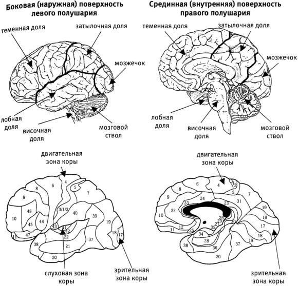 Кора Большого Мозга фото