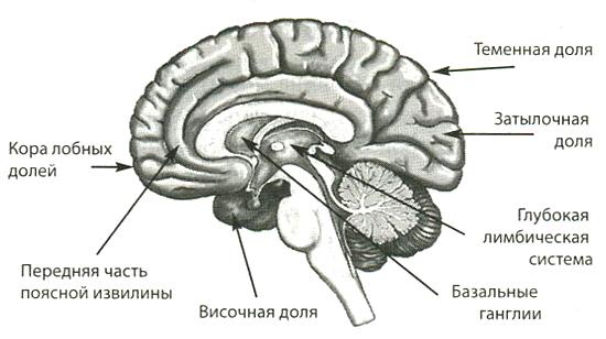 Отдел мозга отвечающий за секс
