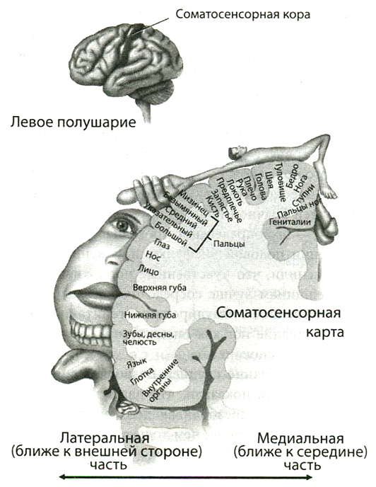 Ученые самый сексуальный орган мужчины мозг миллер