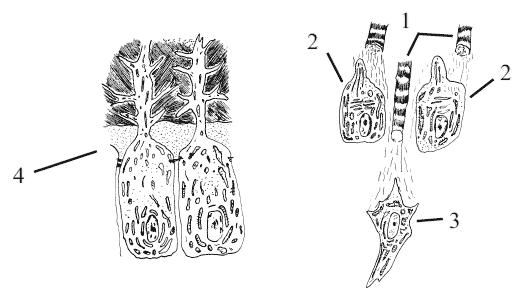 Схема строения одонтобластов: