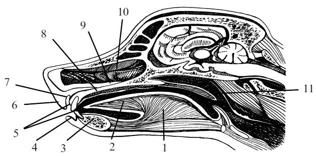 Сагиттальный разрез головы