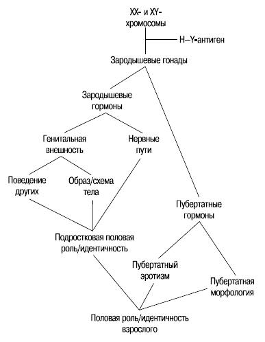 этапы и компоненты половой