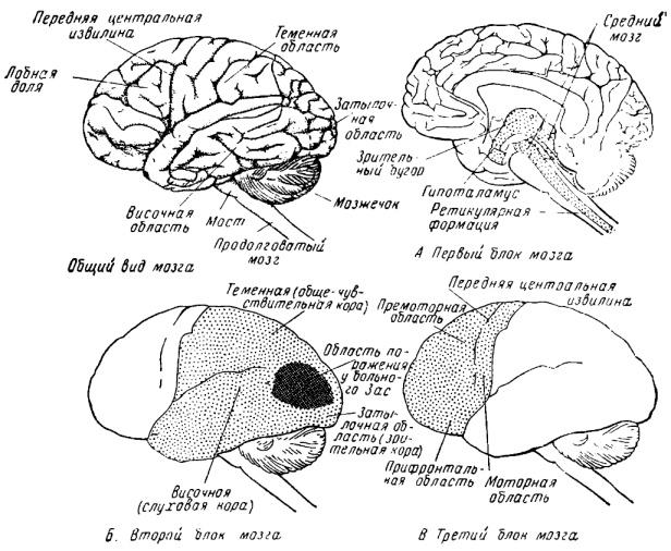 Основные «блоки» человеческого