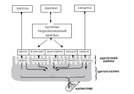 Книга: Диетология. Руководство