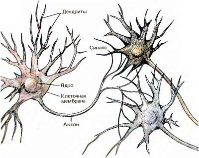 Главные части нервной клетки