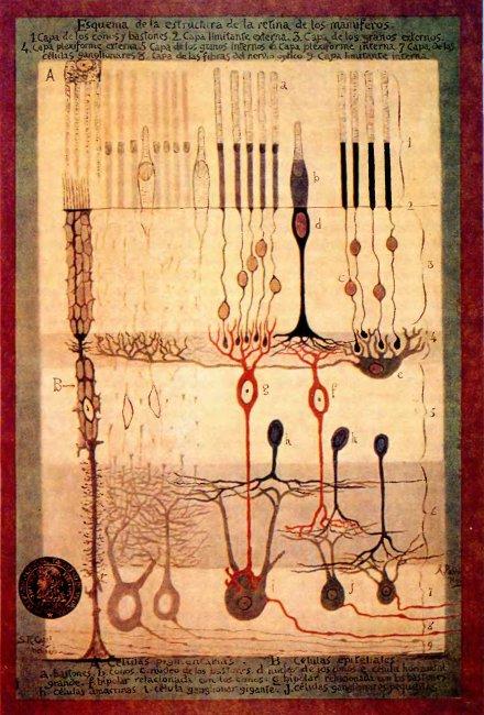 Схема расположения нервных