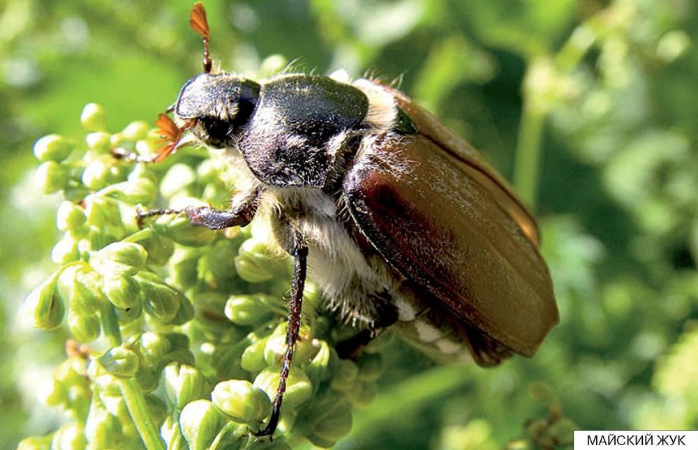 Доклад о майском жуке 7024
