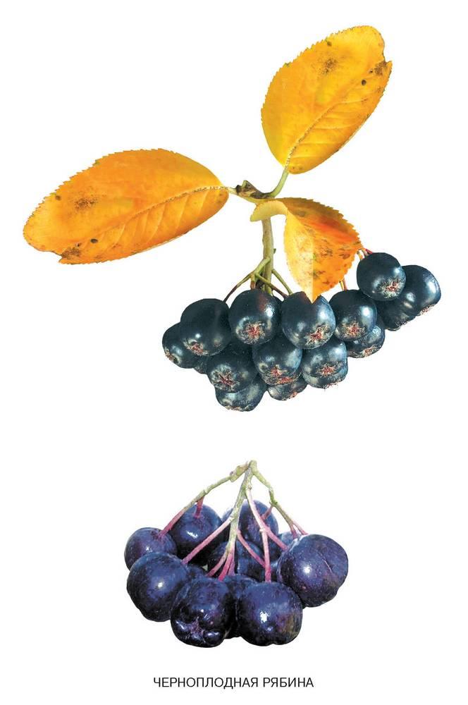 полезные свойства черноплодной рябины для человека