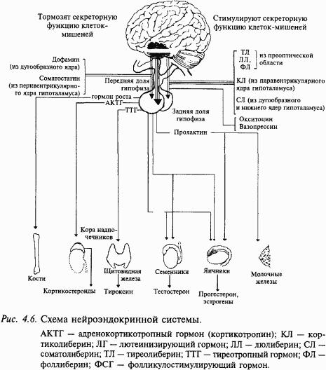 Между нервной и эндокринной