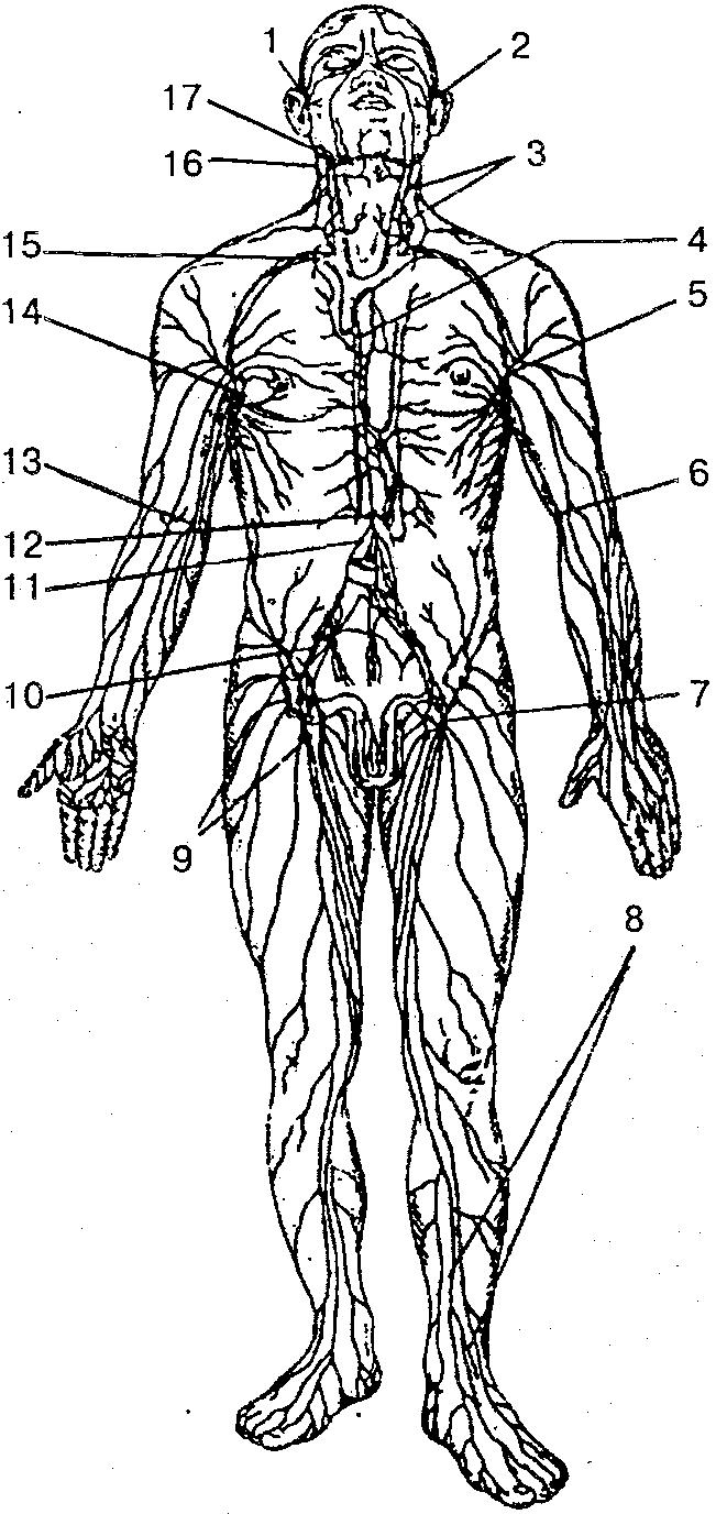 анатомия человека схема кровеносной системы