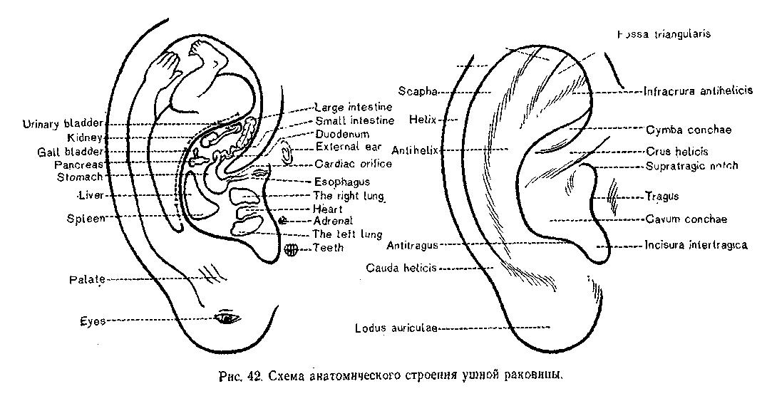 Схема иннервации ушной