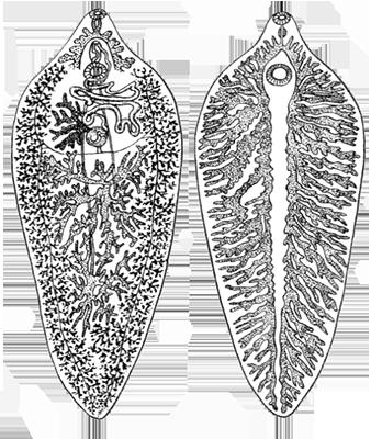 Отличия строения печночного сосальщика от строения цепней