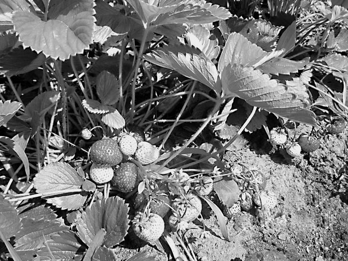 Плодовые кусты вашего сада