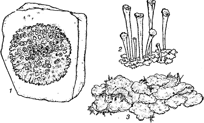 плаун булавовидный строение схема