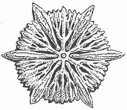 Кровавый коралл проф. Ольдена