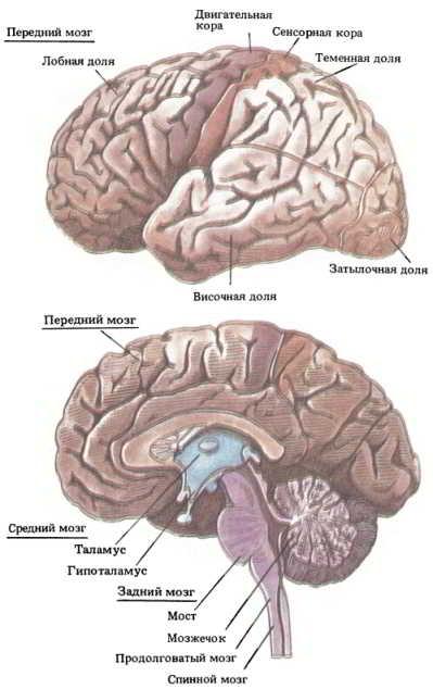 Какой процент глюкозы образуемый печенью потребляется головным мозгом