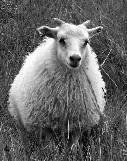 Темнокожие транс конфетки black sheep