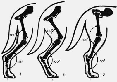Угол скакательного сустава у таксы болят тазобедренные суставы чем лечить