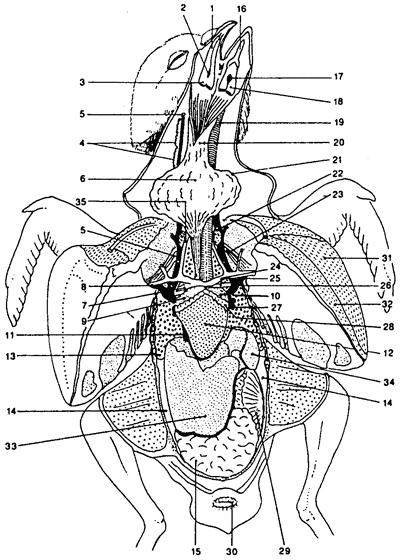 Анатомия голубя
