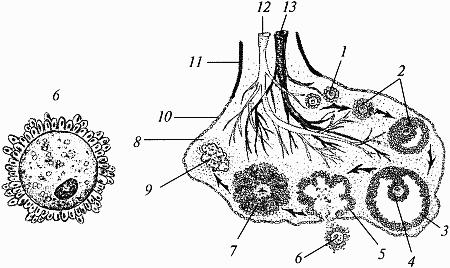 Строение яичников: 1