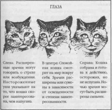 У испуганной кошки зрачки