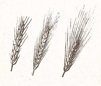 Пшеница, рожь, ячмень