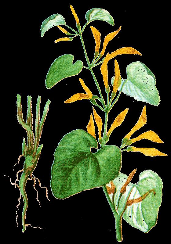 Сбор лечебных трав которые увеличиваю член
