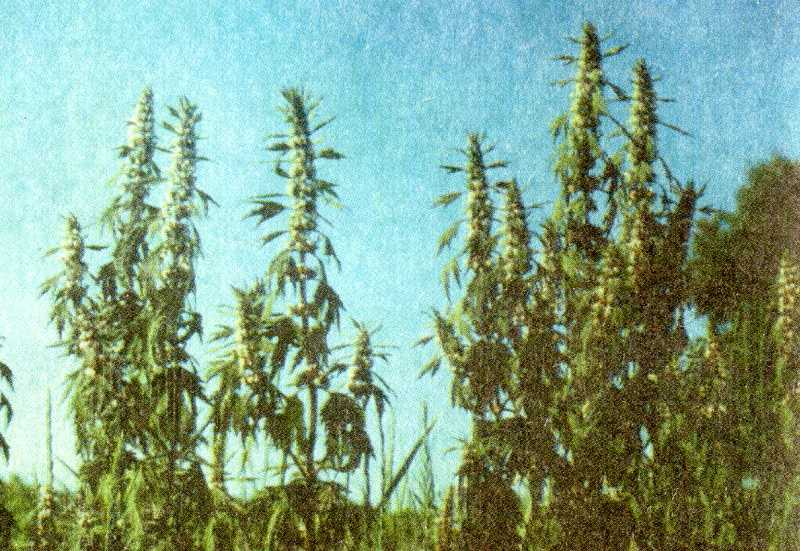трава подмаренник
