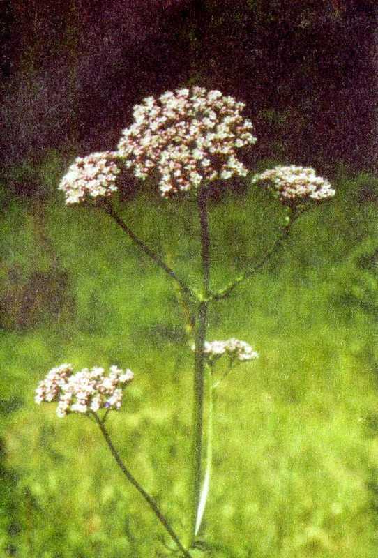 ласковец трава фото