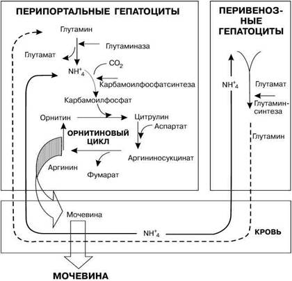 Обмен веществ в клетках печени