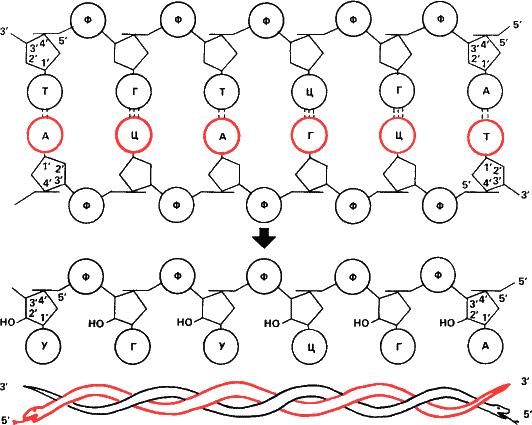 Схема строения двухцепочечной