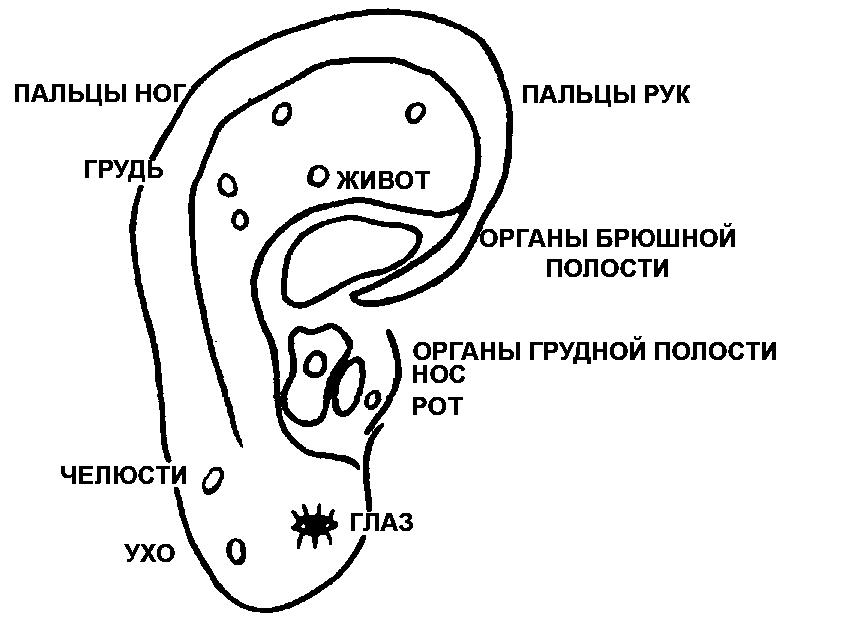 эмбриона на ушную раковину