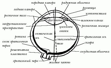 Горизонтальный разрез глаза