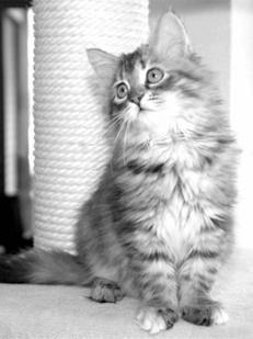 Смесь с сибирским котом