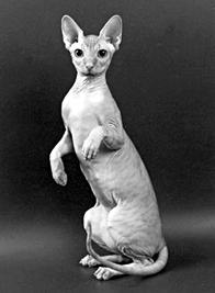 Вес сфинкса кота