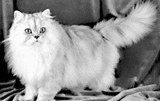 Коты персы глаза
