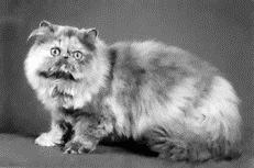 Персидские кастрированные коты