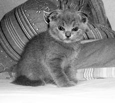 Можно ли спаривать вислоухую кошку с вислоухим котом