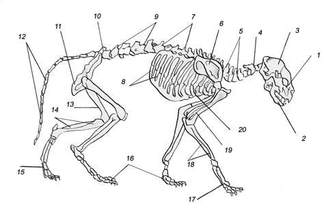 Анатомическое строение скелета