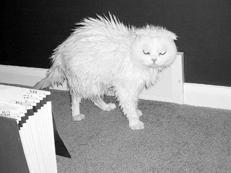 Как купать шотландского кота