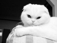 шотландская вислоухая кошка белая фото