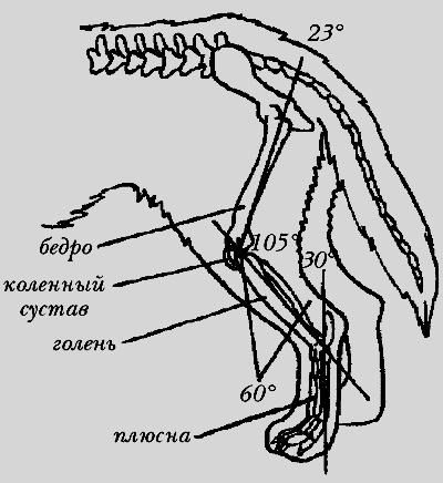 Угол скакательного сустава у таксы признаки незрнлого тазобедренного сустава у новорожденного