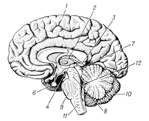 Головной мозг взрослого