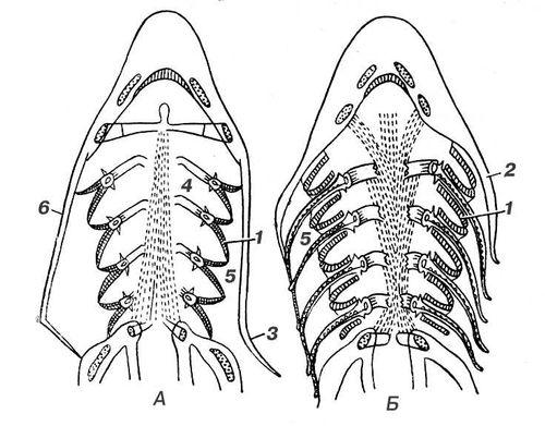 головы костистой рыбы (а)